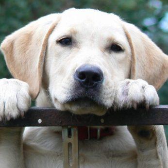 verlatingsangst, hond